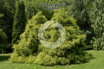 Chamaecyparis pisifera. Sawara cypress