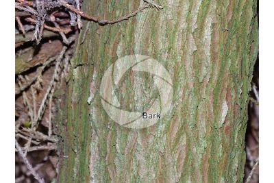 Chamaecyparis pisifera. Sawara cypress. Stem