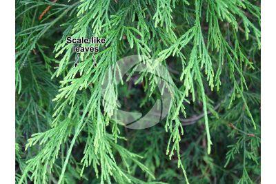 Chamaecyparis pisifera. Sawara cypress. Leaf