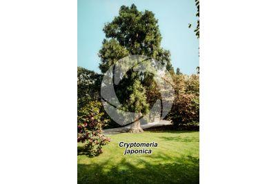 Cryptomeria japonica. Japanese cedar