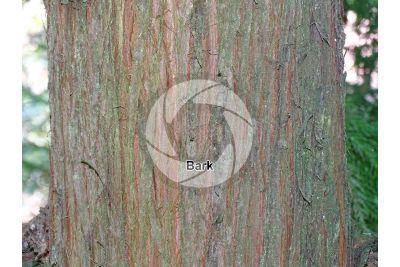 Cryptomeria japonica. Japanese cedar. Stem