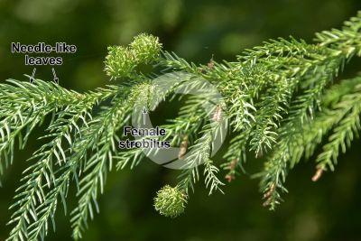 Cryptomeria japonica. Japanese cedar. Female strobilus