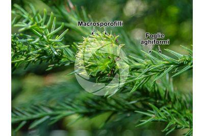 Cryptomeria japonica. Criptomeria. Strobilo femminile