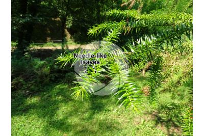 Cunninghamia lanceolata. China-fir. Leaf. Upper surface