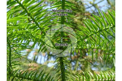 Cunninghamia lanceolata. China-fir. Leaf. Lower surface