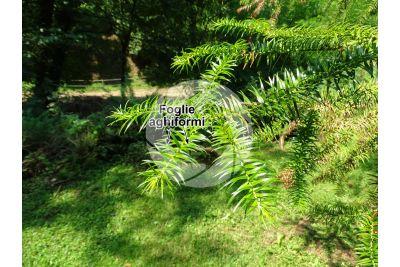 Cunninghamia lanceolata. Cipresso di Cunningham. Foglia. Pagina superiore