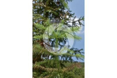 Cunninghamia lanceolata. Cipresso di Cunningham. Foglia. Pagina inferiore