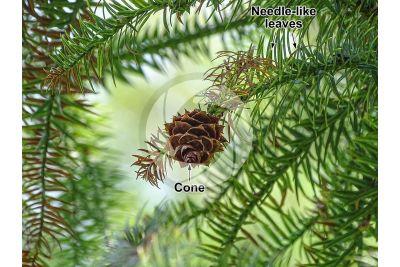 Cunninghamia lanceolata. China-fir. Strobilus