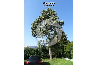Cupressus arizonica. Arizona cypress
