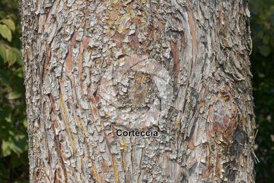 Cupressus arizonica. Cipresso dell'Arizona. Fusto
