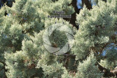 Cupressus arizonica. Cipresso dell'Arizona. Foglia