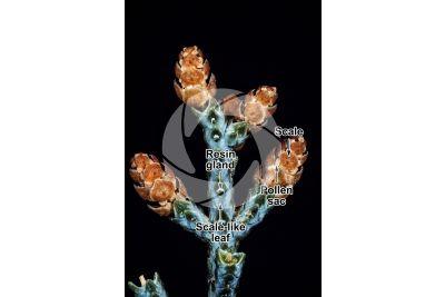 Cupressus arizonica. Arizona cypress. Male strobilus