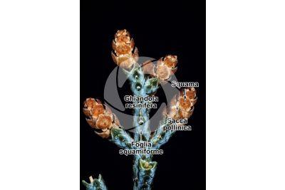 Cupressus arizonica. Cipresso dell'Arizona. Strobilo maschile