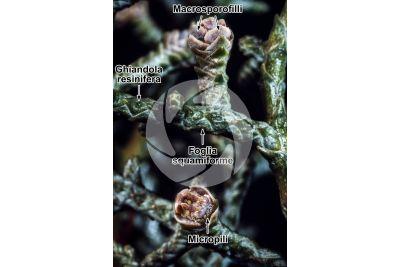 Cupressus arizonica. Cipresso dell'Arizona. Strobilo femminile