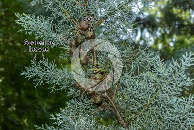 Cupressus arizonica. Arizona cypress. Strobilus