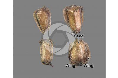 Cupressus arizonica. Arizona cypress. Seed. 5X