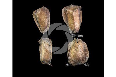 Cupressus arizonica. Cipresso dell'Arizona. Seme. 5X