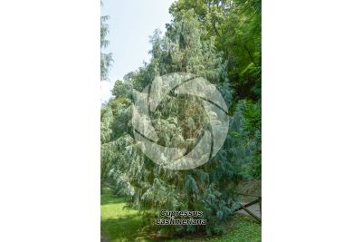 Cupressus cashmeriana. Kashmir cypress