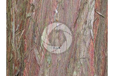 Cupressus cashmeriana. Kashmir cypress. Stem