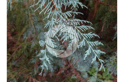 Cupressus cashmeriana. Kashmir cypress. Leaf