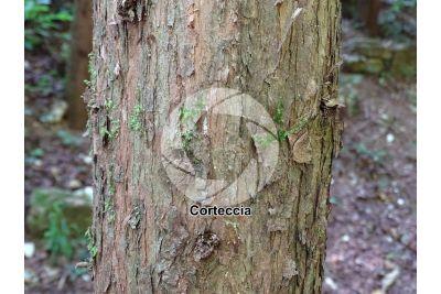 Cupressus macrocarpa. Cipresso di Monterey. Fusto