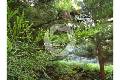 Cupressus macrocarpa. Monterey cypress. Leaf