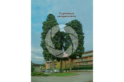 Cupressus sempervirens. Mediterranean cypress