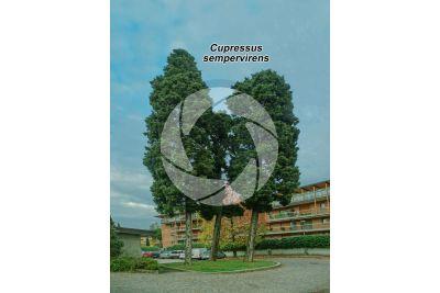 Cupressus sempervirens. Cipresso comune