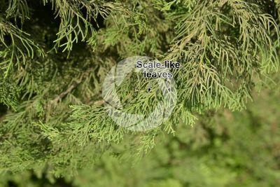 Cupressus sempervirens. Mediterranean cypress. Leaf