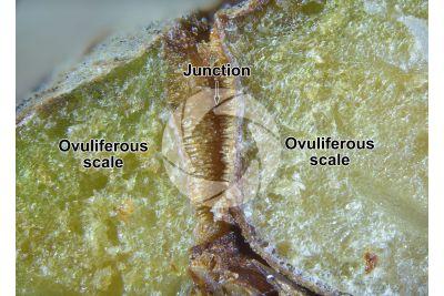Cupressus sempervirens. Mediterranean cypress. Strobilus. Transverse section. 15X