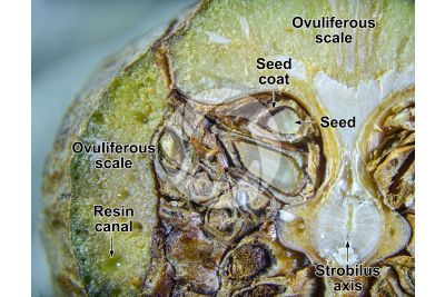 Cupressus sempervirens. Mediterranean cypress. Strobilus. Transverse section. 5X