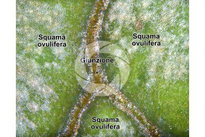 Cupressus sempervirens. Cipresso comune. Strobilo. 15X