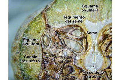 Cupressus sempervirens. Cipresso comune. Strobilo. Sezione trasversale. 5X