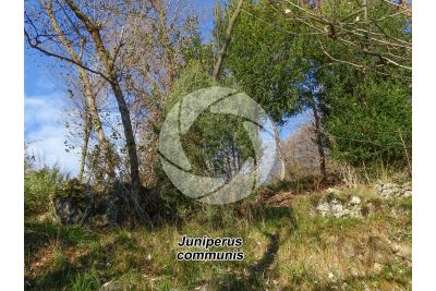 Juniperus communis. Common juniper