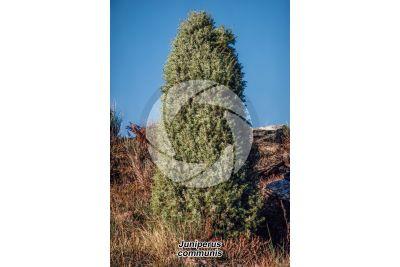Juniperus communis. Ginepro comune