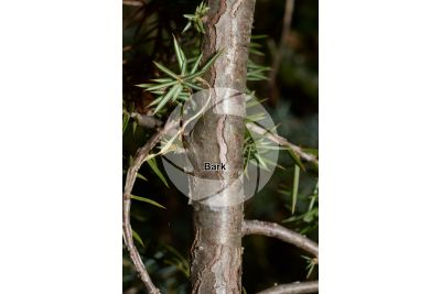Juniperus communis. Common juniper. Stem