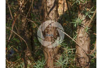 Juniperus communis. Common juniper. Stem