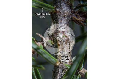 Juniperus communis. Common juniper. Stem. 5X