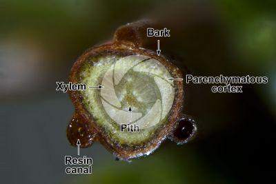 Juniperus communis. Common juniper. Stem. 20X