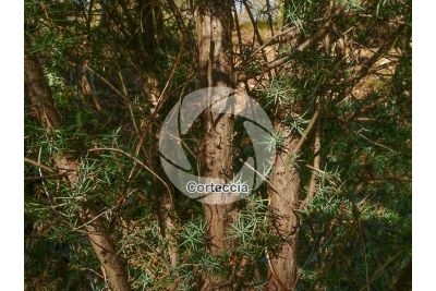 Juniperus communis. Ginepro comune. Fusto