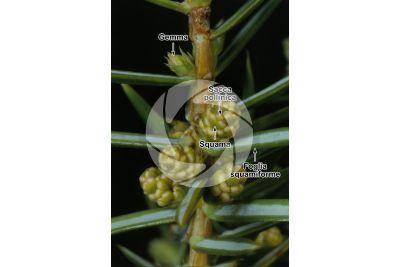 Juniperus communis. Ginepro comune. Strobilo maschile