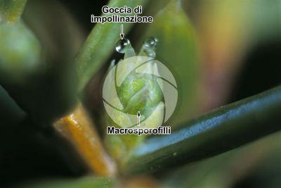 Juniperus communis. Ginepro comune. Strobilo femminile