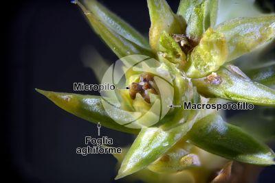 Juniperus communis. Ginepro comune. Strobilo femminile. 25X