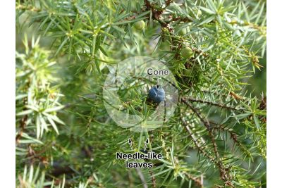 Juniperus communis. Common juniper. Strobilus
