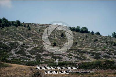 Juniperus communis subsp nana. Dwarf juniper