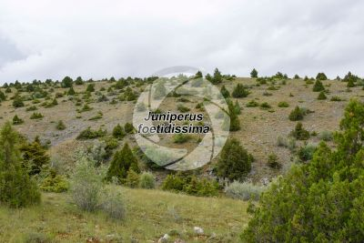 Juniperus foetidissima. Foetid juniper