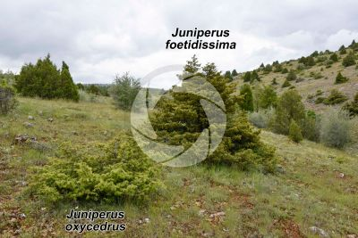 Juniperus foetidissima and Juniperus oxycedrus
