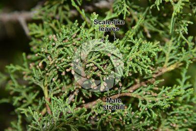 Juniperus foetidissima. Foetid juniper. Male strobilus