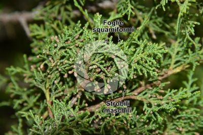 Juniperus foetidissima. Strobilo maschile