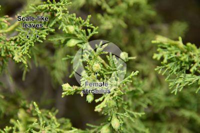 Juniperus foetidissima. Foetid juniper. Female strobilus